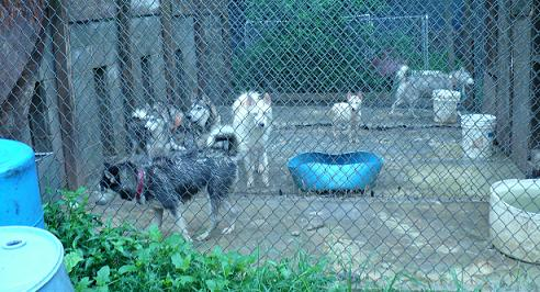 at least 7 huskies crammed into 4 dog runs