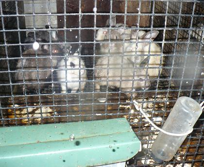 8 rabbits crammed into a disgustingly dirty small cage with no water