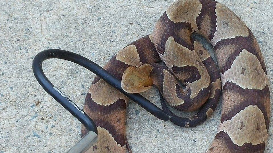 copperhead snake - brown and tan rings with a heart-shaped head