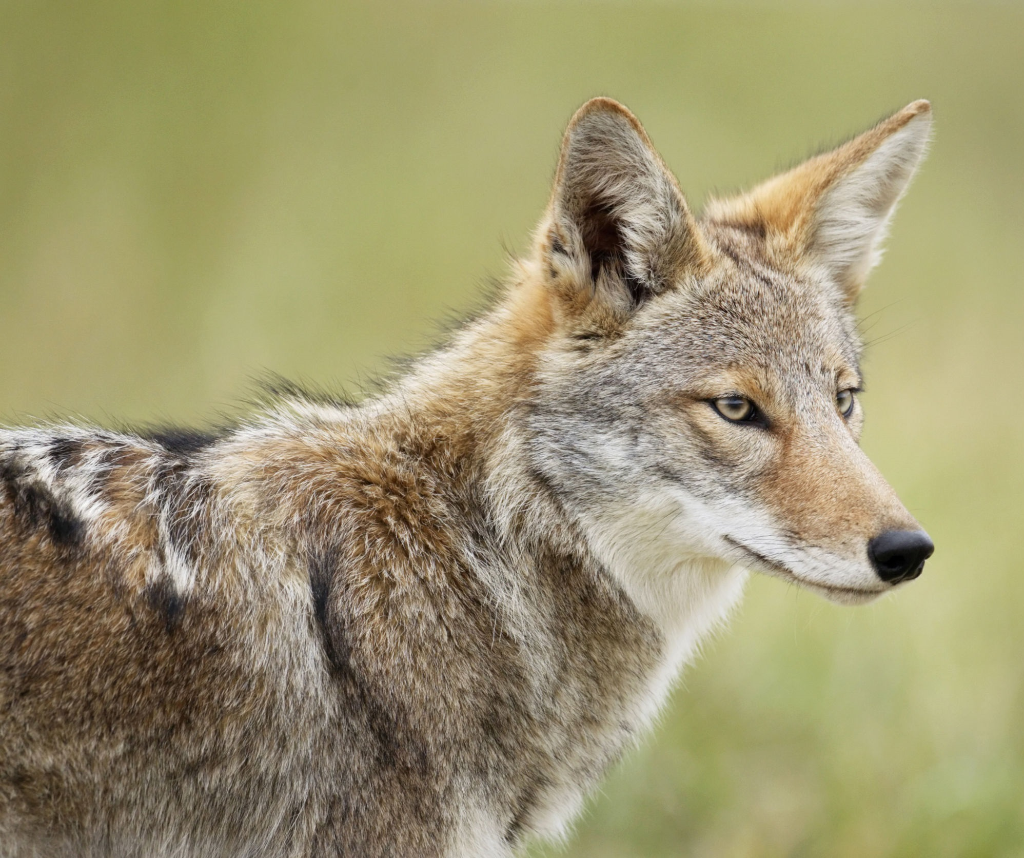 coyotes are thinner and more brown in color than fox