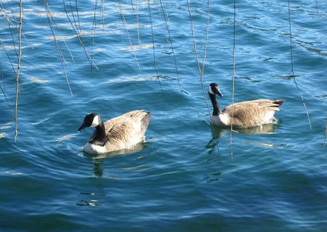canadian geese floating on a pond