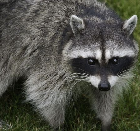 a raccoon looks like it has a mask on its face