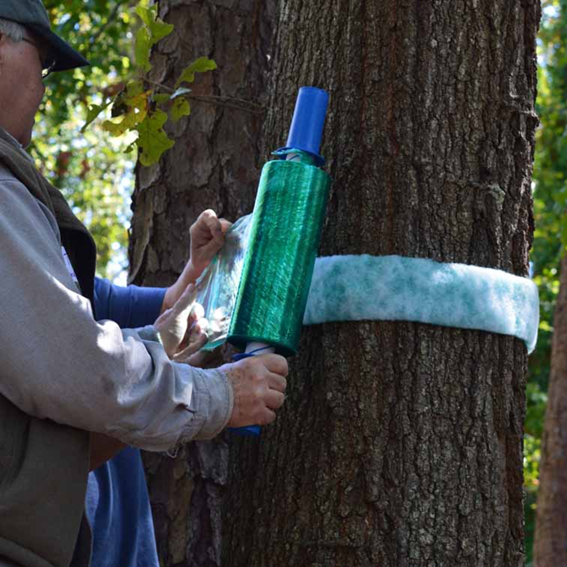 Older fellow helping to band a tree to prevent cankerworms